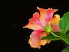 Fancy Hibiscus on Black - Ka'anapali, Maui (Barra1man (Back From Vacation)) Tags: fancyhibiscusonblack hibiscus fancyhibiscus tropical tropicalflower tropicalcolours nature blackbokeh garden kaanapali maui hawaii island unitedstates olympus olympusem1 lens150mm iso640 f561800