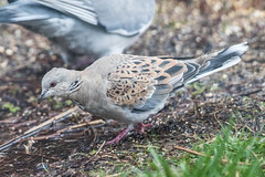 Turtle Dove (Fylde Bird Club) Tags: beachroad turtledove