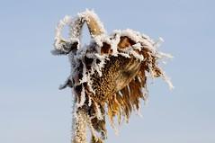 (Px4u by Team Cu29) Tags: sonnenblume pflanze schnee frost kalt kälte winter frostig sterben tod