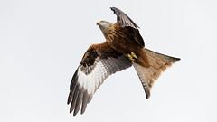 Red Kite (Unintended_Keith) Tags: redkite tail steering birdinflight birdofprey raptor nature wildlife canon1dx sigma150600mms