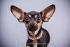 CRT-20180207_Francie-1.JPG (Alfred Kirst) Tags: akiii photography alfred kirst iii chihuahua rescue transport ak3photography akiiiphotography canon chi dog planopetphotographer planotx planotexas planoweddingphotographer texas cute cutepuppy cutie female foster fosterdog fosterpuppies plano puppies puppy zukepets alfredkirstiii chihuahuarescueandtransport