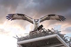 Osprey leaving the nest - (Jack Winter) Tags: bird birds fisheagle seahawk osprey wildlife