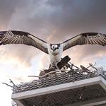Osprey leaving the nest - thumbnail