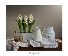 De blancos y con perfume de jacintos...... (.... belargcastel ....) Tags: lechera blanco jacintos mantel cuerda texturas bodegón still stilllife españa spain galicia belargcastel belénargüesocastelos
