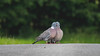 Love birds (- A N D R E W -) Tags: pigeons valentines day cute birds canon 80d tamron 150600mm nature naturaleza path ground color colorful green verde dark shadow cloud nuve wildlife valentine