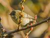 Ruby-crowned Kinglet (orencobirder) Tags: smallbirds flickrexport kinglet birds