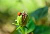 Passeando - Cycloneda sanguinea (✿ Debora ✿) Tags: joaninha ladybird ladybug pequenina tuboextensor extensiontube mariquita cyclonedasanguinea coleoptera coccinellidae cycloneda nikon nikond5200 macro inseto insect flor flower
