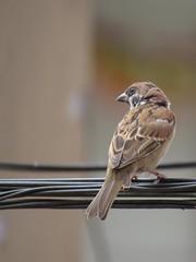 Looking forward (nomadsboy) Tags: birds birding birdingphotography wildlife wild feathers nature naturephotography