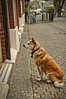Waiting Patiently (johnscratchley) Tags: dogs pets animals friends loyal hdr