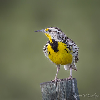Western Meadowlark - Thoughts of Spring