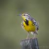 Western Meadowlark - Thoughts of Spring (Turk Images) Tags: lakenewell sturnellaneglecta westernmeadowlark alberta birds brooks icteridae weme male prairie spring