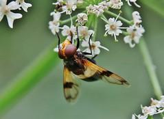 Hoverfly (Hugo von Schreck) Tags: hugovonschreck makro insect insekt hoverfly schwebfliege tamron28300mmf3563divcpzda010 canoneos5dsr