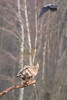 White-tailed eagle (Haliaeetus albicilla) bielik  and hooded crow (Corvus cornix) – wrona siwa (tomaszberlin) Tags: whitetailed eagle haliaeetus albicilla bielik poland nature wildlife bird birdofprey birdwachers animal tree sky wrona hooded crow corvus cornix – siwa