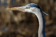 Great Blue Heron at Bombay Hook-3 (Scott Alan McClurg) Tags: aherodias ardea ardeidae bombayhook flickr animal bird blue greatblueheron heron life nature naturephotography neighborhood spring wild wildlife