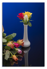 Colour Roses. (johnhjic) Tags: johnhjic nikon nikond850 d850 flower flowers flash water blu white red yellow studio broncolor siros s800 rose roses blue
