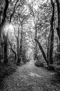 sunlight into a forest path makes and ethereal vanishing point in black & white, Bois de Breuil, near Honrfleur, Calvados, Normandy, France