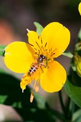20180122-IMG_5445.jpg (tastigr) Tags: australia afternoon victoria macro wildlife macedonranges summer