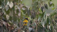 DSC_1455.jpg (naser7363) Tags: blackheadedoriole birds