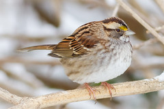 White-throated Sparrow (tresed47) Tags: 2018 201801jan 20180117homebirds birds canon7d chestercounty content folder home january pennsylvania peterscamera petersphotos places season sparrow takenby us whitethroatedsparrow winter