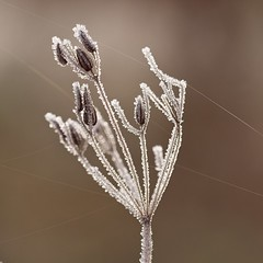 Winter Goes On (MiBro) Tags: winter frosty frost pflanze plant ice eis