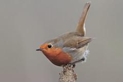Pettiroso (Marcello Giardinazzo) Tags: pettirosso robin birds avifauna wild uccelli bird natura