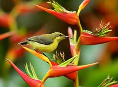 Olive-backed Sunbird juvenile ---- Cinnyris jugularis (creaturesnapper) Tags: sunbirds singapore asia birds olivebackedsunbird juvenile cinnyrisjugularis