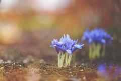 Blue Blue February... (KissThePixel) Tags: iris miniatureiris blue blueflowers flower flowers bokeh bokehlicious friday february flora winterflora spring winter garden meadow beautiful simplebeauty nikon nikondf 50mm macro