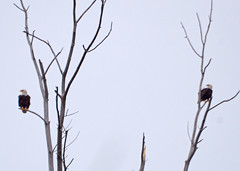 Bald Eagles - Chase St, Wetland Gary IN. - February 03, 2018 (Michael Topp) Tags: bald eagles michael topp chase st wetlands gary indiana lake county ias birds
