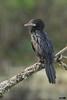 Little cormorant (harshithjv) Tags: bird birding waterbird cormorant littlecormorant microcarbo niger aves avian pelecaniformes phalacrocoracidae canon 600d tamron bigron g2 nocrop