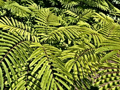 Tropical fern (louise peters) Tags: leave leaves bladeren fern varen tropical tropisch green groen fullscreen beeldvullend plant