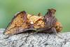 Argyrogramma verruca (Plusiinae) (Bruno Garcia Alvares) Tags: portrait canon nature orange contrast plusiinae argyrogrammaverruca mariposa moth lepdóptera empilhamentodefoco empilhamentodefocoemcampo focusstacking fieldstacking macro macrofotografia macrofotography diydiffuser 430exii canon600d mpe65mm insetos insect insetosbrasileiros insetosdobrasil insetosdaamazônia insetoscoloridos colorfulinsects colors colorido verde laranja yellow brunogarciaalvares manfrotto454 combinezp