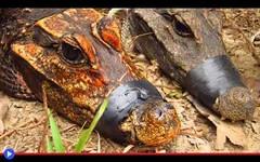 L'enigma africano dei coccodrilli arancioni (mondoanimale) Tags: animali natura ambiente africa