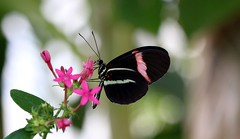 Le facteur (Nature Box) Tags: img0181 heliconius melpomene postman butterfly common