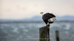Eagle in Super Wind (CindyFullwiler Nature Photography) Tags: bald eagle wind weather sequim bay ocean cline spit pilings boat dock raptors