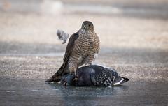 Sharp-shinned Hawk with Pigeon (Melissa M McCarthy) Tags: sharpshinnedhawk hawk birdofprey catch kill pigeon bird animal nature outdoor stjohns newfoundland canada canon7dmarkii canon100400isii