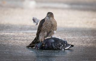 Sharp-shinned Hawk with Pigeon