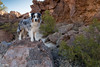 In the footsteps of Don Miguel Peralta (Jasper's Human) Tags: aussie australianshepherd dog peraltacanyon gold