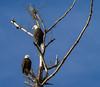 Eagles (jay12472) Tags: eagles bald nature birds