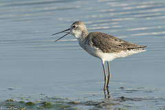 # Marsh Sandpiper........... (Prem K Dev) Tags: marsh sandpiper sholinganallur sml subcontinent beautiful bird wader white wildlife wonderful water reflection chennai colourful