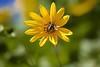 Vespa (Carlos Santos - Alapraia) Tags: vespa nature natureza flor flower insecto