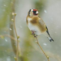 It's Snow Laughing Matter! (Paul C Stokes) Tags: goldfinch wildbirds gardenbrids wild garden birds uk england southwest snow snowy sonya7r2 sony a7r2 70300g bristol bradleystoke sel70300g birdsofflickr