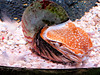 Nautilus (ekenitr) Tags: sealife scheveningen ekenitr nautilus aquarium zoo