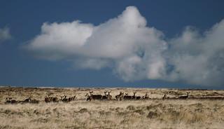 Red deer, Exmoor