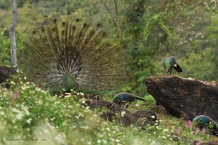 นกยูงไทย / Green Peafowl / Pavo muticus