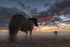 Pony at sunrise... (Grégory Dolivet) Tags: poney sunrise brume briere ciel nuage cheval brouillard landscape paysage