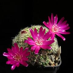 Sulcorebutia crispata RF181 '367' (Pequenos Electrodomésticos) Tags: cactus cacto flower flor sulcorebutia sulcorebutiacrispatarf181