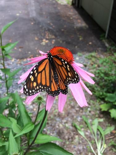 Monarchs need more than milkweed