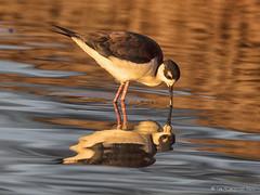 Reflecting Pool (pandatub) Tags: bird birds stilt blackneckedstilt shorelinepark mountainview