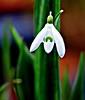 Snowdrop (ronramstew) Tags: winter flower birchmoor garden bloom liverpool stmichaels merseyside snowdrop olympus60mmmacro