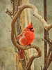 Cardinal on Wisteria Branch (clarkcg photography) Tags: birds cardinal red feathers blackmask colors saturated saturatedsaturday